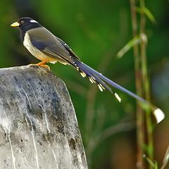 Yellow-billed Blue Magpie (Urocissa flavirostris flavirostris) (Gaurav Bhatnagar) Tags: india bird birds nikond50 gaurav naturesfinest himalyan bhatnagar nikkor300mmf4 northeasthimalyas fbwnewbird fbwadded goldbilledmagpie urocissaflavirostris