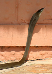 What is the fastest snake in the world? - All That is