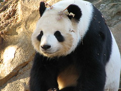Smiling Tian Tian (The Brit_2) Tags: giant zoo dc washington panda tian national endangered pandas tiantian