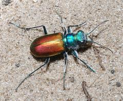 Cicindela scutellaris scutellaris (tigerbeatlefreak) Tags: red green nature bug festive insect wildlife tiger beetle specanimal