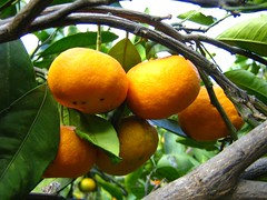 "mandarins • <a style=""font-size:0.8em;"" href=""http://www.flickr.com/photos/70272381@N00/299106447/"" target=""_blank"">View on Flickr</a>"