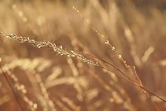 Fields of Gold (MoxiePhotos) Tags: light grass gold virginia bokeh va glowing magichour