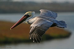 Califonia Brown Pelican; Pelecanus occidentalis californicus (MissionPhotography) Tags: california fruits wetlands orangecounty brownpelican blend birdwatcher bolsachica acai pelecanusoccidentalis monavie pelecanusoccidentaliscalifornicus featheryfriday bestnaturetnc06 naturewatcher bfgreatesthits