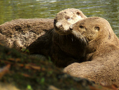 My Otter Neighbors! (shesnuckinfuts) Tags: family baby love animals mom pond backyard wildlife wa furryfriday otters animalplanet riverotter backyardpond kentwa experiencewa animaladdiction specanimal otterfamily animalkingdomelite shesnuckinfuts washingtonstatewildlife