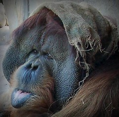 Clyde Again (Twitchietai) Tags: clyde orang utan orangutan ape hairy animal intelligent expression eyes sandiegozoo explore portrait winner tartyshots simio lengua  macaco   scimmia  affe singe aap