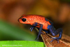 Oophaga Pumlio (Lus Louro) Tags: macro nature animals ilovenature nikon wildlife frogs planet tropical amphibians forests itsonginvite wildlifephotography itsongnikond200 wildlifecentralamericacaribbean