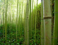 bamb (loungerie) Tags: verde green flora bamboo thin reef tronco canna verte copertina bosco canne vegetazione collodi sottobosco bamb sottile canneto cavo