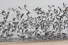 Crowded Flight (eyriel) Tags: bird birds gull gulls nature wildlife fly flying water shore seashore