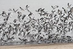 Crowded Flight (eyriel) Tags: bird birds gull gulls nature wildlife fly flying water shore seashore