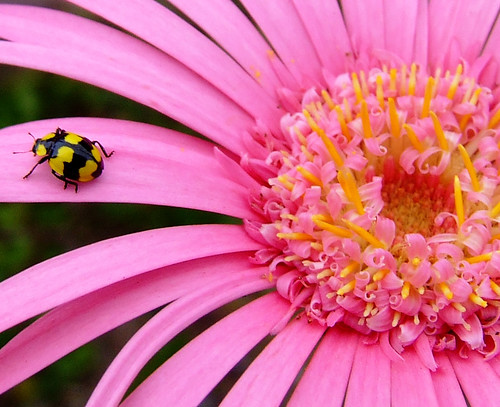 Lady bug on flower petal