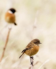 Turning her back on him (graspnext) Tags: bird big momma bigmomma saxicola stonechat rubicola britishbird superaplus aplusphoto superhearts photofaceoffwinner photofaceoffplatinum pfogold