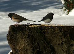 Dark-Eyed Juncos (shesnuckinfuts) Tags: snow cold birds backyard birdseed moo washingtonstate coolest darkeyedjunco juncohyemalis kentwa oregonjunco slatecoloredjunco november2006 featheryfriday ilovebirds experiencewa animaladdiction abigfave shesnuckinfuts