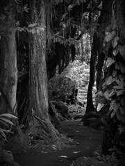 Path to Somewhere (jaxxon) Tags: trees blackandwhite bw wet canon grey hawaii mood path walk gray 2006 trail jungle mysterious desaturated g6 bandw damp muted powershotg6 neutral canonpowershotg6 neutralcolors jaxxon neutralcolor jackcarson jacksoncarson jacksondcarson