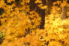 Yellow forest late autumn...#2 - by yugoQ