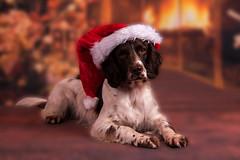 Soon it will be christmas (Flemming Andersen) Tags: hurupthy northdenmarkregion denmark dk zigzag christmas xmas red dog fire warm hat pixiehat spaniel cocker