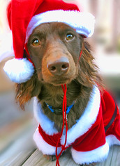 Teddy Claus (Doxieone) Tags: santa christmas xmas red dog brown interestingness long teddy chocolate 2006 dachshund suit explore v exploreinterestingness hi haired mostpopular ggg 1002 longhaired onexplore explored abigfave impressedbeauty 25515129 326191211 342201212 1038311230 holidayseason2006set teddyset 142931929 christmaspast2008set ddate