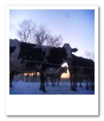 cows at winter morning