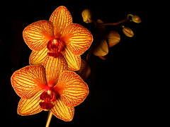 orchid family (serhio) Tags: family red orange black orchid flower yellow dark sony cybershot explore veins sergei dscw1 yahchybekov serhio
