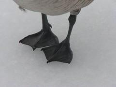 Goose feet