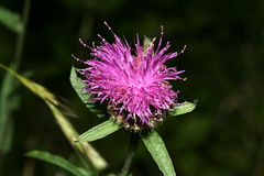 1330618745 Black_Knapweed 2007-09-04_18:42:00 Warburg