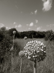 Florally (or  Rain or Shine) (Tendance Flou) Tags: summer sky blackandwhite france flower floral fleur clouds garden corse corsica jardin skyandclouds ajaccio ail korsika aildesours notcalifornia ailsauvage tendanceflou tinorossi okfloral danslejardindetinorossi aliumursinum