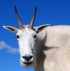White Mountain Goat Against a Blue Sky