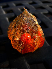 signs of fall : chinese lantern (atomicshark) Tags: leica autumn orange flower color macro fall beautiful lumix chinese dry panasonic lantern dying fz30 excellence chineselantern dmcfz30 physalisalkekengi atomicshark pdpnw