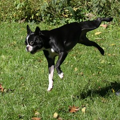 i believe i can fly (jude) Tags: dog max dogs boston square bostonterrier 2006 explore terrier jude judith furryfriday squared meskill judithmeskill interestingness4 twtme thisismaxdoingdancydog flippingforhistoy 30faves30comments300views musicaltitle highestposition4onthursdaynovember162006 judeonflickr