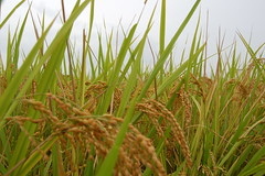 20061006asuka0066 (cbuddha) Tags: japan rice buddha buddhist ikebana sakae ricefields asuka oka ocha