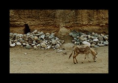 the Donkey and the War (janchan) Tags: afghanistan war donkey tunnel mines reportage hindukush thetaleofaurezu whitetaraproductions