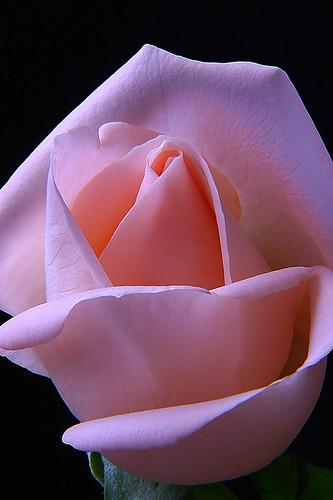rosa EXTRAORDINARIA