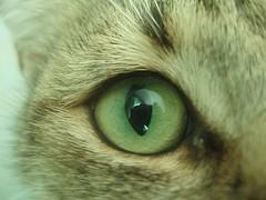 Feline eye... (Marcus Vegas) Tags: camera macro reflection green eye topv111 digital cat geotagged topv555 topv333 tallinn estonia topc50 topc75 creative olympus glance s800 srgb harjumaa acehigh zhuzha 10faves cc400 cc300 cc200 cc100 cc500 cy2 good1 challengeyou beautifulcapture challengeyouwinner abigfave p1f1 duetos bestofcats platinumphoto geo:tool=gmif superbmasterpiece beyondexcellence goldenphotographer geo:lat=59374829 geo:lon=24710451 diamondclassphotographer flickrdiamond pet500 photofaceoffwinner pfogold