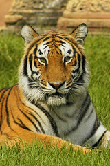 View Bengal Tiger on Flickr
