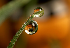 Garfield dewdrop refraction #1 (Lord V) Tags: macro water dewdrop refraction