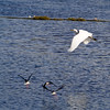 egret flight-mar06 (Mike Rodriquez) Tags: luminosity
