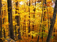 Gold Rush (Nicholas_T) Tags: autumn trees nature forest newjersey lowlight hiking foliage creativecommons deciduous warrencounty jennyjumpstateforest jennyjumpmountain 123nj jennyjumpstatepark temperatedeciduousforest