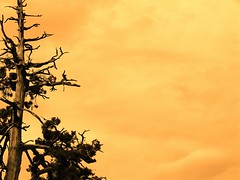 tree near big bear :: orange background (Brian A Petersen) Tags: california bear orange tree nature sepia big highway worship background brian creation bp mountian petersen bpbp brianpetersen brianapetersen