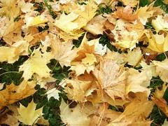 Maple Leafs (Alexander Marc Eckert) Tags: autumn fall germany deutschland maple herbst 2006 leafs bltter allemagne ahorn gppingen germanyalbum plantsalbum gppingenalbum gettyimagesgermanyq1