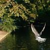 Land ! (Daniel Condé) Tags: bird flying pigeon utataview