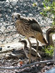 Bush Stone Curlew Family (David de Groot) Tags: bird canon australia brisbane chick queensland s2is fernygrove bushstonecurlew animalkingdomelite