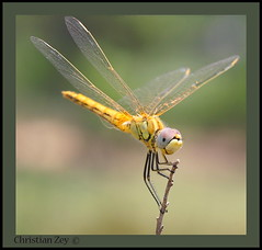 Libelula -Dragon Fly (Zeygom) Tags: naturaleza macro nature insect dragon dragonfly supermacro cercano