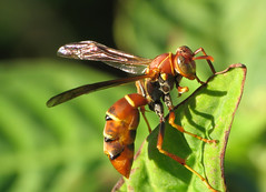 Polistes with Strepsiptera (Sean McCann (ibycter.com)) Tags: animals insects bugs s2is hymenoptera vespidae polistes strepsiptera raynoxdcr250 polistinae waspalishious