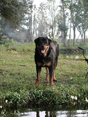 HANZ the Rottweiler (Scott Kinmartin) Tags: dog by pond rottweiler
