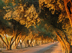Olive Tree Lane (BlueOakPhotos) Tags: california county tree bravo path walk olive lane jesters yolo topphotoblog abigfave bacopa2 anawesomeshot impressedbeauty blueoakphotos