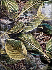 Frosty Leaves (grah44) Tags: uk kent shoreham photomatix frostyleaves artlibre anawesomeshot