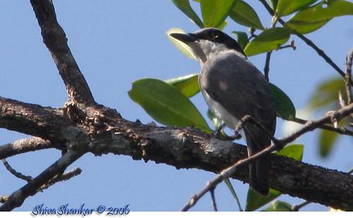 Large Woodshrike - Male