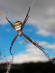 St Andrews Cross Spider- Best viewed large - by aussiegall