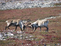 play fighting (dacardoso) Tags: mountain tag3 taggedout newfoundland tag2 tag1 caribou grosmorne