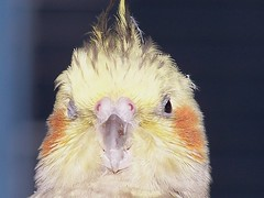;-) (makeupanid) Tags: face loki karma wink petbird featheryfriday commentonmycuteness theworldthroughmyeyes animaladdiction piedpearlcockatiel cockatieldust crestup fullfrontalloki
