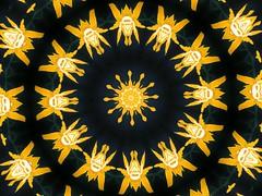 Flower Mandala (Marco Braun) Tags: black yellow niger photoshop jaune circle circles negro kaleidoscope mandala amarillo gelb dogen schwarz concentric kaleidoscopes cercle  kreis mandalas noire kaleidoskop cercles kreise   flavus     kalidoscope  konzentrisch concentrique  kaleidoscopesonly
